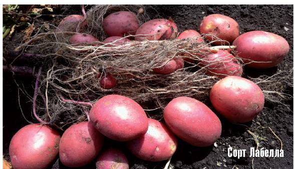 Продукция на продажу: картофель