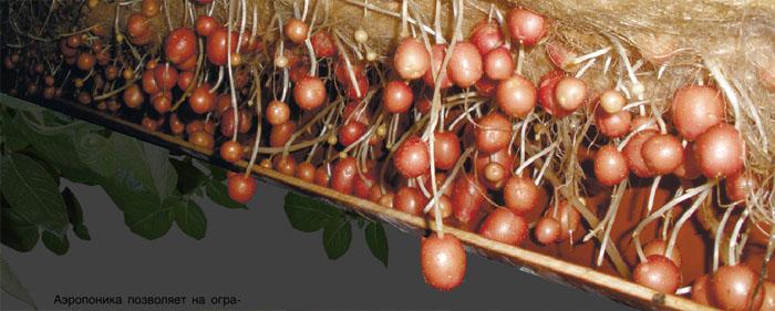 Картофель выращивание методом гидропоники 69