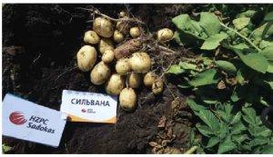 Горби ин вест семенной картофель