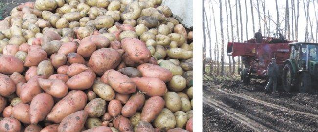 Какие сорта картофеля выращивают в пензенской области?